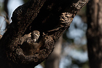 The spotted owlet (Athene brama) is a small owl which breeds in tropical Asia from mainland India to Southeast Asia. Photographed in Huai Kha Khaeng Wildlife Sanctuary, Thailand.