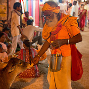 A sadhu, or Hindu holy man, feeds an apple to a young, sacred cow in the streets of Varanasi, Uttar Pradesh, India.