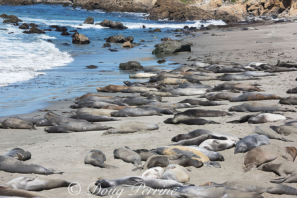 northern elephant seals, Mirounga angustirostris, mostly young males crowd the beach as they undergo their annual molt or moult, Piedras Blancas, near San Simeon, California, United States ( Eastern Pacific Ocean )