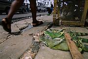 Green iguanas sold live for curry, Starbroek market, Guyana