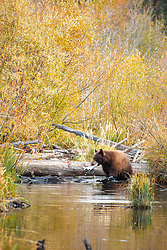 """""""Black Bear at Taylor Creek 2"""" - This brown colored black bear was photographed with a Kokanee Salmon in it's mouth at Taylor Creek in South Lake Tahoe."""