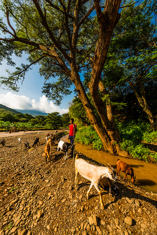 Goats drink from river, Southern Nations Nationalities and People's Region, Ethiopia.