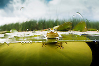 """Pool frog (Pelophylax lessonae) on a waterlily leaf, Crisan, Danube Delta, Romania. Over under shot. A pool frog is very similar in appearance to the closely related edible frog and marsh frog. These three species are often referred to as """"green frogs""""."""