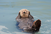 sea otter, Enhydra lutris ( Endangered Species ), covering ears with paws, Valdez, Alaska ( Prince William Sound )