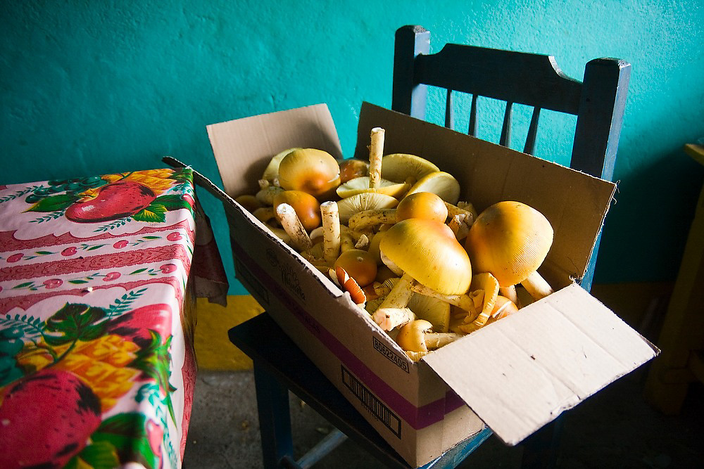 Freshly picked wild mushrooms are piled into a carboard box in the home of Hugo and Liceth Yescas Lazaro in La Neveria, part of the Pueblos Mancomunados, a network of Zapotec villages in the Sierra Norte Mountains of Oaxaca state, Mexico. Wild mushrooms are a specialty of the region, and sold at the larger markets in the valley.