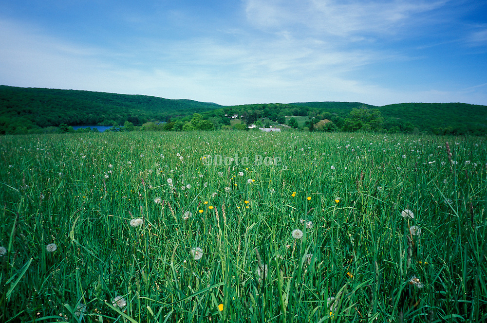 field with grass and daffodils