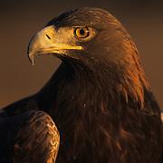 Golden Eagle portrait. Captive Animal