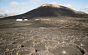 Grapevines growing in black volcanic soil in protected enclosed pits, La Geria, Lanzarote, Canary Islands, Spain