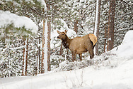 Female (cow) Elk in the Rockies during a snow storm