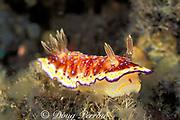 nudibranch, or sea slug, Chromodoris collingwoodi, feeding on hydroids, Tulamben, Bali, Indonesia