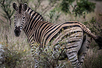 Beautiful striped Zebra amongst the bush in Kruger National Park, South Africa.