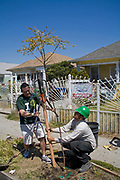 Staking a tree at a tree planting celebrating Earth Day in South Central Los Angeles. LA Conservation Corps joins with community volunteers to plant trees along West Adams and Central Avenue near a new Fresh and Easy Market that plans to open on the corner. Los Angeles, California, USA.