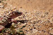 Tucson Banded Gecko (Coleonyx variegatus bogerti) near Tucson, Arizona