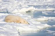 01874-11601 Polar Bear (Ursus maritimus) sleeping on ice, Hudson Bay, Churchill Wildlife Management Area,  MB