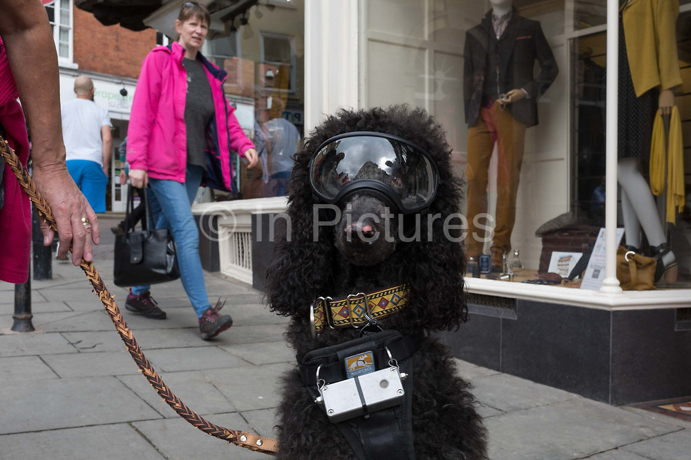 Due to sudden blindness, 2 year-old pet poodle wears eye goggles and a sonar device to help it navigate the streets and lead a near-normal life, on 11th September 2018, in Ludlow, Shropshire, England UK.