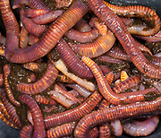Close-up abstract of a mass of Brandling worms or Red worms (Eisenia fetida) on the underside of a compost bin lid in a Norfolk garden in summer