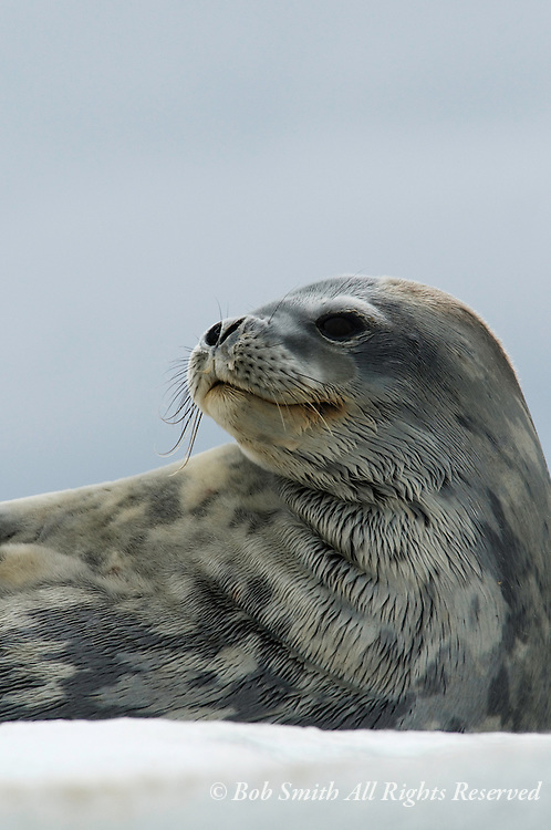 Weddell seals on Heroina Island in the Danger Island chain in the Antarctic Peninsula  20090121 (Leptonychotes weddellii)