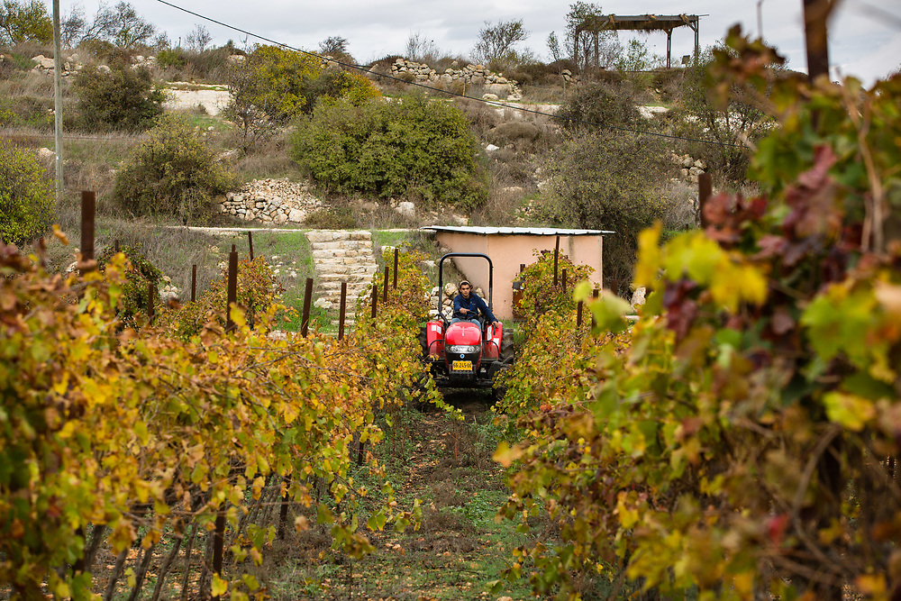 Jewish Israeli worker Orel Levi drives a tractor past grapevine branches at Psagot Vineyard, in the West Bank Jewish settlement of Psagot, near the Palestinian West Bank city of Ramallah, on November 17, 2015.