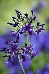 Agapanthus 'Indigo Dreams'. African lily