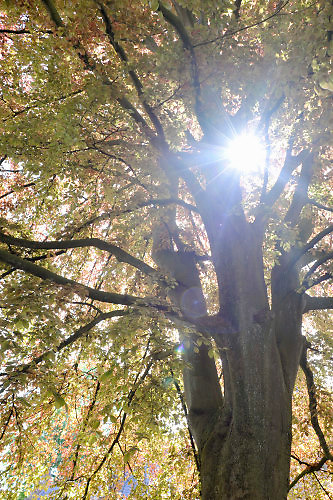 Nederland, Ubbergen, 7-5-2016De lentezon schijnt door het gebladerte van een grote boom. Die staat op een kerkhof.Foto: Flip Franssen