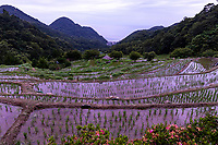 Ishibu Rice Terraces on the Izu Peninsula is considered to be one of Shizuoka's best sightseeing spots. It is said to be the largest rice terraces within Izu, with around 370 stonework braced paddies. At the top of the terraces, visitors can see of Suruga Bay below. During planting and harvesting season, dozens of people from both within and outside the prefecture gather to participate. In May, the rice fields are lighted with candles, which produces a wondrous sight. . These rice terraces and paddies, once abandoned, have been reclaimed.  Here, one can also experience DIY farming under the direction of local farmers.