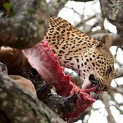 Leopard feeding on an Impala in a tree. South Africa.