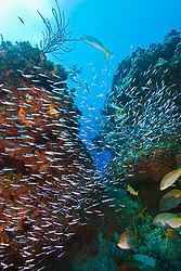 Minnows - silversides, herrings or anchovies, sheltering under coral reef ledges or canyon, West End, Grand Bahama, Bahamas, Caribbean, Atlantic Ocean