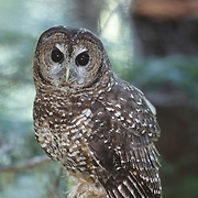 Spotted Owl (Strix occidentalis) in the old growth forest in Olympic National Park, Washington.