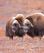 Alaska. Muskox (Ovibos moschatus) bulls on guard for other bulls and herd predators during the autumn breeding season on the Seward Peninsula, outside of Nome.