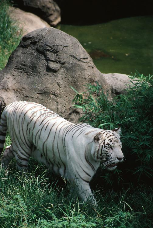 Albino_Tiger