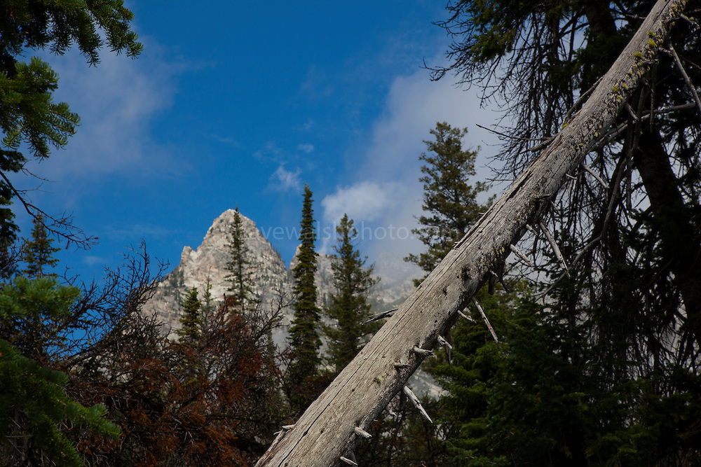 Dead tree, on Jenny Lake Trail, at Grand Teton National Park, Wyoming
