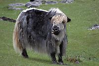portrett av mongolsk jak med fin frisyre, portrait of a mongolian yak with a nice hair style