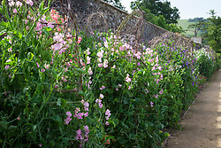 The sweet pea trial at Parham House