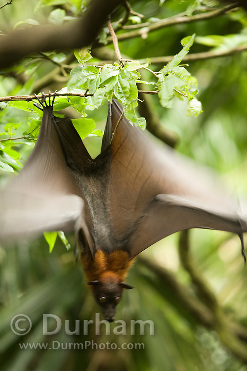 A large male malaysian flying fox (Pteropus vampyrus) in Endau-Rompin National Park, Malaysia.