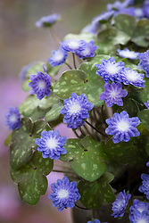 Hepatica japonica forma magna 'Daishiho'