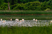 A flock of American White Pelicans (Pelecanus erythrorhynchos) rest on a pond while migrating. Fitchburg, Wisconsin, USA.