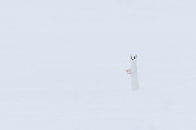 An Ermine also known as a long-tailed weasel camouflaged nicely in the snow in Yellowstone National Park.