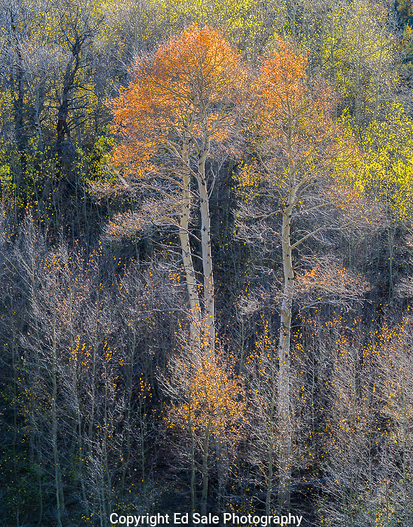 Sunset makes the fall leaves shimmer in the Trout Creek Mountains of southeastern Oregon.