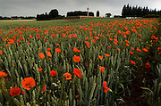 Poppies grow in the shadow of the Sword of Sacrifice which stands in Rancourt Military cemetery one of the many hundreds of Commonwealth War Graves Cemeteries ( CWGC ) on the Somme battlefields of northern France. .COPYRIGHT PHOTOGRAPH BY BRIAN HARRIS  © 2008.07808-579804