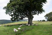 Livestock in the area west of the Long Mynd on 24th July 2020 near Norbury, United Kingdom. The Long Mynd is a heath and moorland plateau that forms part of the Shropshire Hills in Shropshire, England. The high ground, which is designated as an Area of Outstanding Natural Beauty, lies between the Stiperstones range to the west and the Stretton Hills and Wenlock Edge to the east. Much of it is owned and managed by the National Trust.