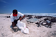 biologist recovers eggs from nest of Kemp's ridley sea turtle, Lepidochelys kempii, for transfer to protected corral, Rancho Nuevo, Mexico ( Gulf of Mexico )