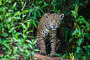 A wild jaguar (Panthera onca) appears out of thick forest vegetation while hunting, Pantanal, Brasil, South America