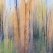 Autumn wind blows through the leaves of aspen and cottonwood near in Grand Teton National Park, Wyoming. Motion Camera Blur.