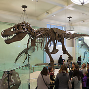 Skeleton of Tyrannosaurus rex in American Museum of Natural History New York City