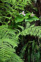 Trilium, Bracken Fern, and Deer Fern grow on a moist bank In the Siskiyou National Forest near the northern California coast.