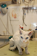 A Cornish rex pedigree cat was brought to the clinic after living on the streets for three months. The cat was in poor condition