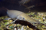 Alligator gar (Atractosteus spatula). captive. Native range:  Sluggish pools and brackish water in SE United States and Mexico. This aggresive fish can grow up to 12 feet in length, and wait to ambush fish, and other prey, that wander with in range.