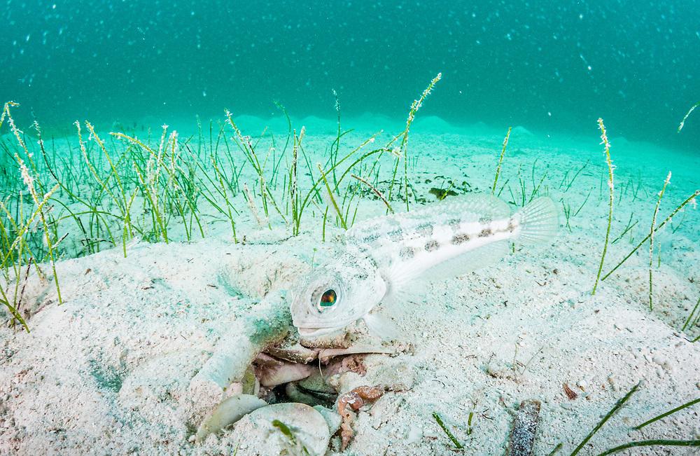 A banded jawfish (Opistognathus macrognathus) maintains his burrow off Man Island, Eleuthera, Bahamas.