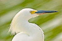 A close-up of a snowy egret in Punta Rassa, Florida. This little shorebird had to be gradually crept up upon to get this shot. Eventually, it was so close that was literally inches from my leg, making my zoom lens useless!