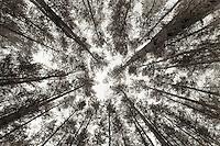Looking up at tall pines. Zagan, Poland.